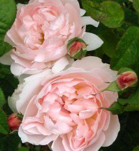 David Austin Roses Kingwood Garden Center