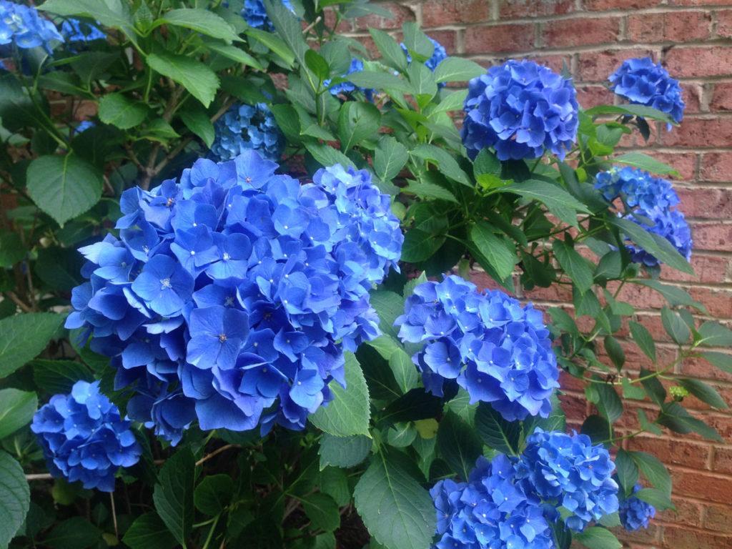 shade plants blue hydrangea