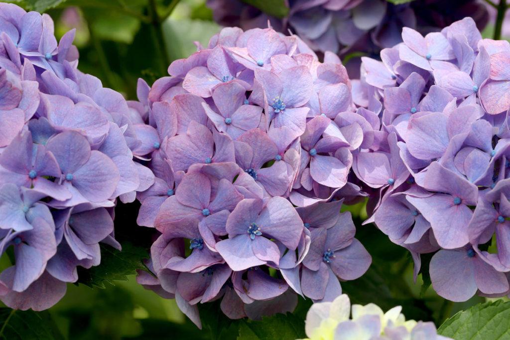 hydrangea flowers purple