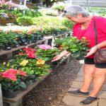 Hibiscus - Dwarfed Varieties