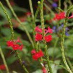Dwarf Red Porterweed