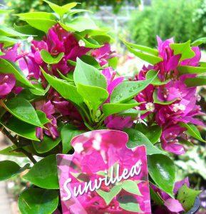 Sunvillea Rose