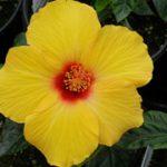 Sunny Wind Hibiscus