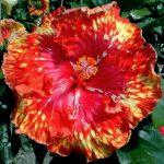 Hibiscus Sunshower