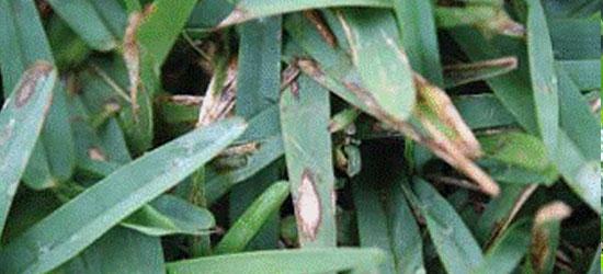 grey leaf spot in turf