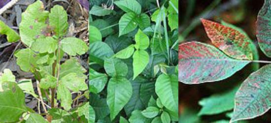 Poison Ivy, Poison Oak, Poison Sumac