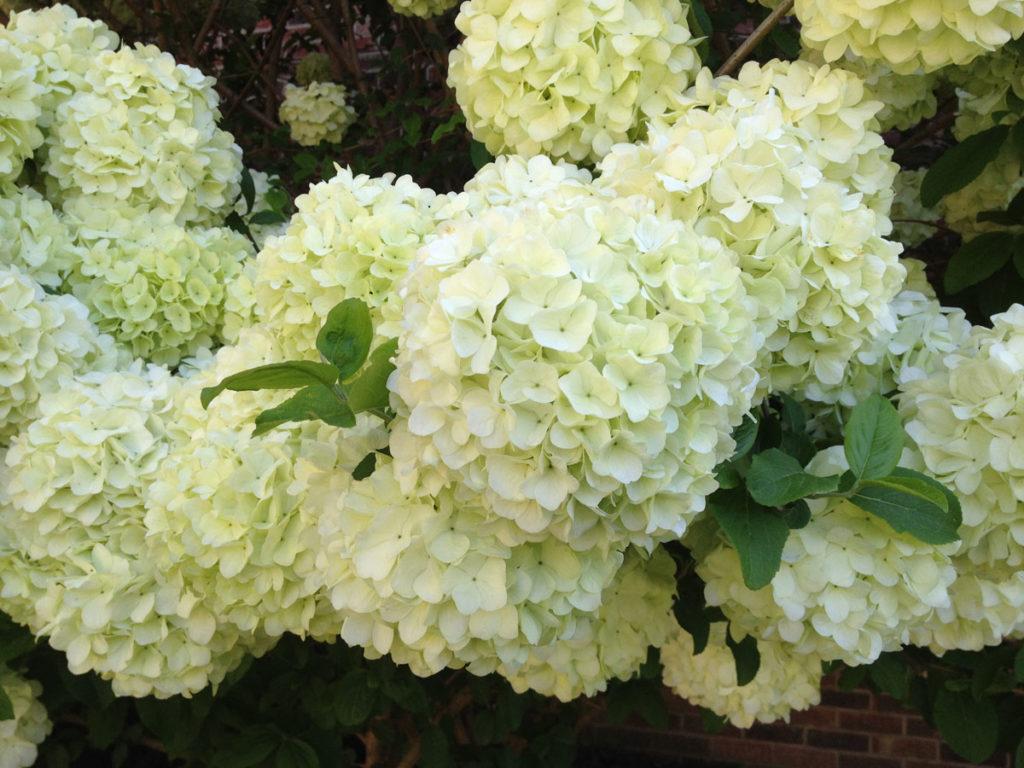 Hydrangeas white
